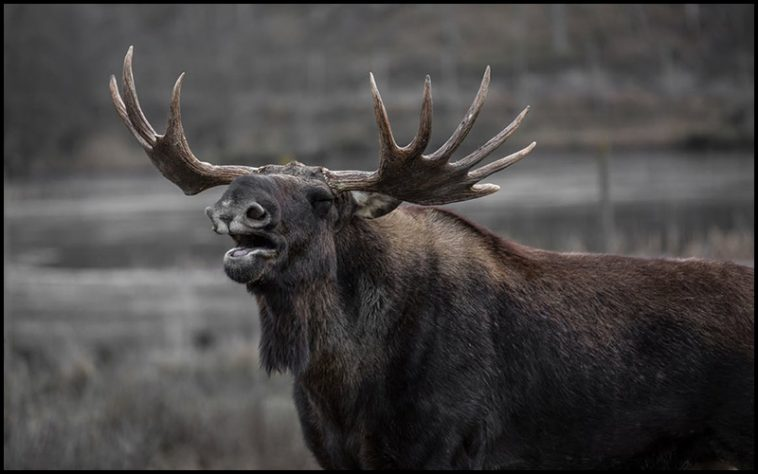 Moose Drinking Game - theChuggernauts.com