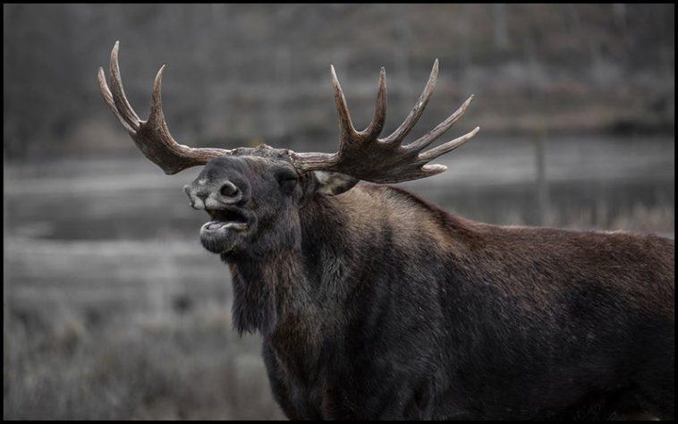 Moose Drinking Game - theChuggernauts.com