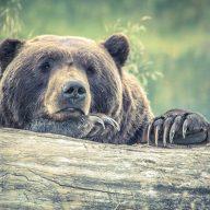 The Bear Paw Drinking Game - the chuggernauts